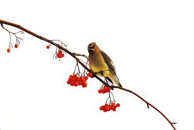 Winter Birds - Waxwing  Art Print