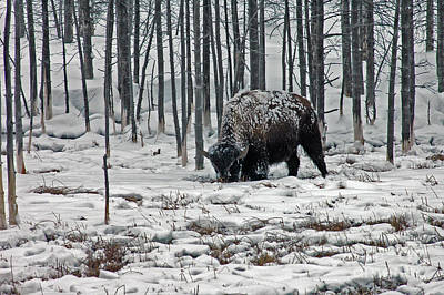 Photograph - Winter Bison - Yellowstone by Cindy Murphy - NightVisions