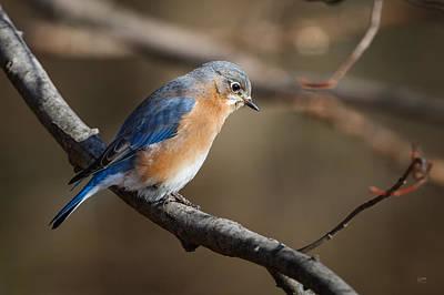 Photograph - Winter Blue Bird by Steven Llorca