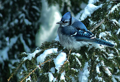 Winter Blue Jay Art Print by Andrew Oliver