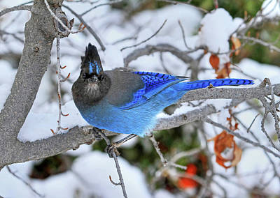 Stellers Jays Photograph - Winter Blues by Donna Kennedy
