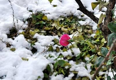 Photograph - Winter Bud by Marija Djedovic