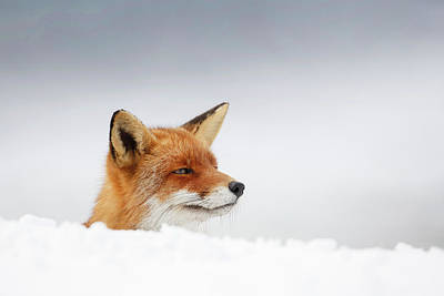 Winter Came - Red Fox In The Snow Art Print by Roeselien Raimond