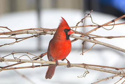 Photograph - Winter Cardinal 10 by David Stasiak