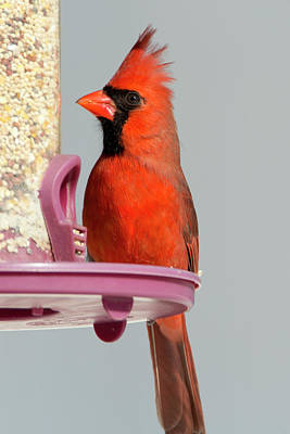 Photograph - Winter Cardinal 11 by David Stasiak