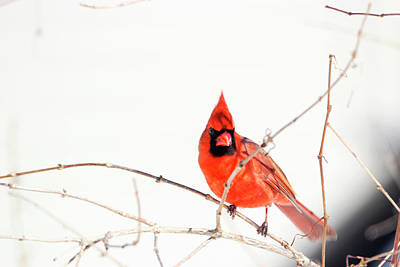 Photograph - Winter Cardinal 2 by David Stasiak