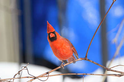 Photograph - Winter Cardinal 3 by David Stasiak
