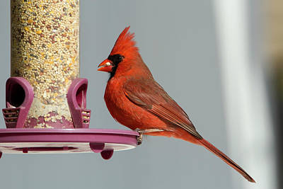 Photograph - Winter Cardinal 4 by David Stasiak