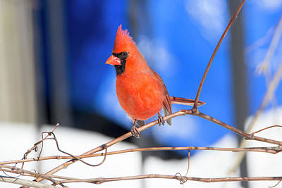 Photograph - Winter Cardinal 5 by David Stasiak