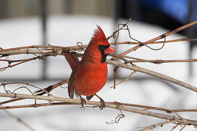 Photograph - Winter Cardinal 6 by David Stasiak