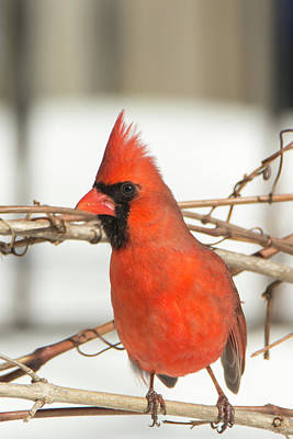 Photograph - Winter Cardinal 7 by David Stasiak