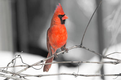 Digital Art - Winter Cardinal 8 by David Stasiak