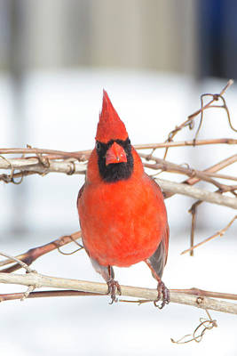 Photograph - Winter Cardinal 9 by David Stasiak