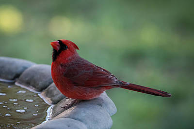 Photograph - Winter Cardinal Bird Bath Nj by Terry DeLuco