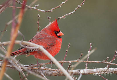 Photograph - Winter Cardinal by David Cutts
