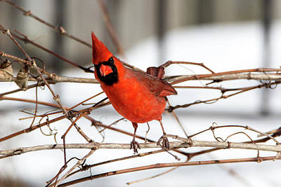 Photograph - Winter Cardinal by David Stasiak