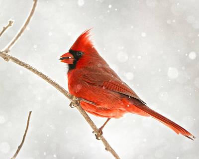 Photograph - Winter Cardinal by Linda Shannon Morgan