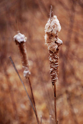 Antique Maps - Winter Cattail 2 by Christina Young