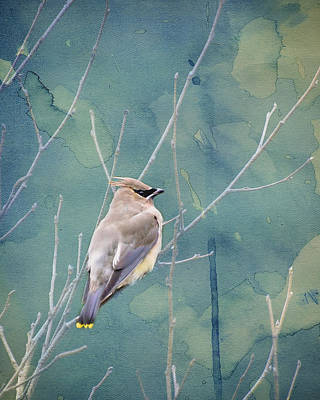 Photograph - Winter Cedar Waxwing by Heather Applegate