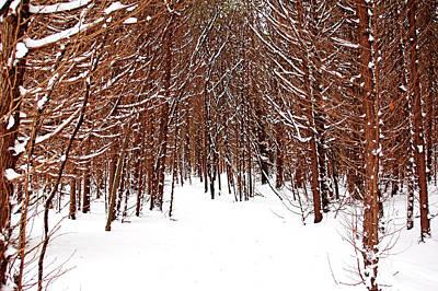 Photograph - Winter Cedars by Debbie Oppermann