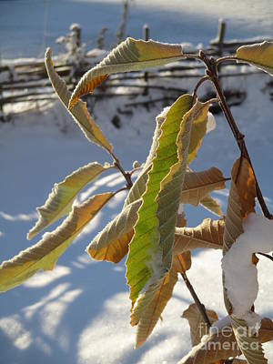 Photograph - Winter Chestnut by Martin Howard