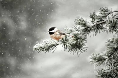 Black Capped Chickadee Wall Art - Photograph - Winter Chickadee by Darren Fisher