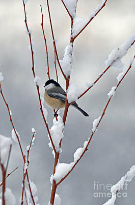 Winter Chickadee Art Print by Diane E Berry