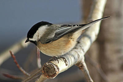 Ira Marcus Royalty-Free and Rights-Managed Images - Chickadee in Winter by Ira Marcus