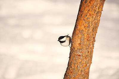 Photograph - Winter Chickadee by Karol Livote