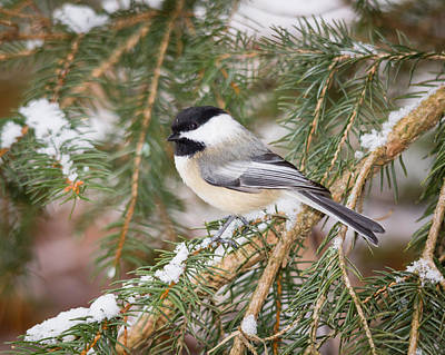 Photograph - Winter Chickadee by Kimberly Kotzian