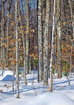 Photograph - Winter Copse With Birches by Lynda Lehmann
