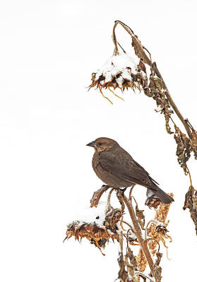 Photograph - Winter Cowbird On Sunflower by Jim Zablotny