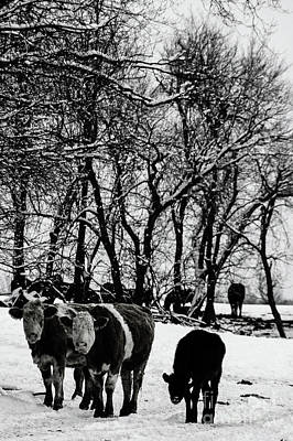 Photograph - Winter Cows by Elaine Hunter