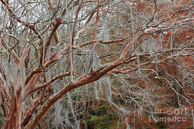 Photograph - Winter Crepe Myrtles by Carol Groenen