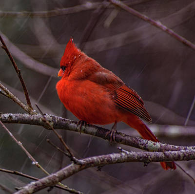 Photograph - Winter Crimson  by John Harding