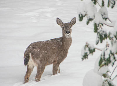 Photograph - Winter Deer by Marilyn Wilson