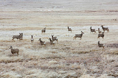 Mule Deer Herd Photograph - Winter Deer by Todd Klassy