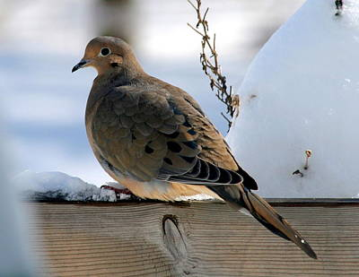 Holiday Card Photograph - Winter Dove by Holly Massie