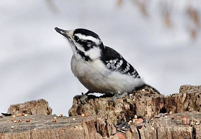 Photograph - Winter Downy Woodpecker by Elaine Manley
