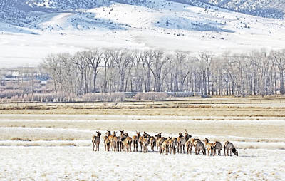 Photograph - Winter Elk In The Ruby Valley Montana by Jennie Marie Schell