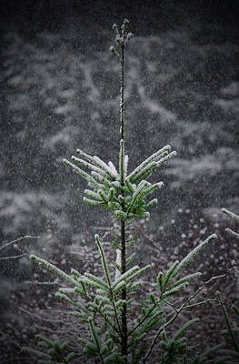 Photograph - Winter Evergreen by Tikvah's Hope