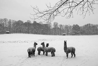 Photograph - Winter Field Alpacas Metro West Black And White by Toby McGuire