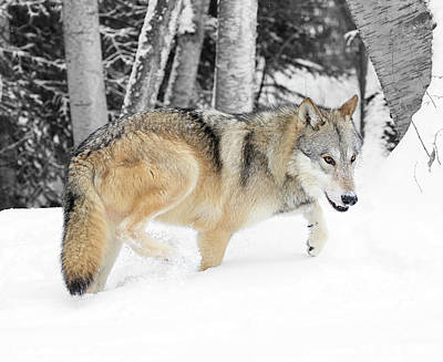 Photograph - Winter Forest Wolf by Steve McKinzie