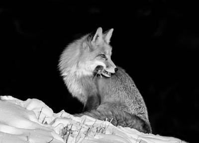 Wildlife Photograph - Winter Fox #2 Black And White by Mindy Musick King