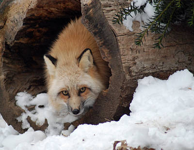 Photograph - Winter Fox by Richard Bryce and Family