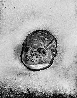 Photograph - Winter Frog In Black And White by Smilin Eyes  Treasures