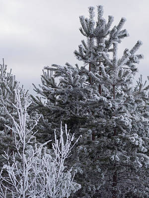 Photograph - Winter Frost On The Trees by Ismo Raisanen