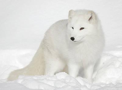 Photograph - Winter Fur Coat Arctic White Fox by Athena Mckinzie