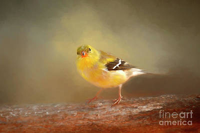 Photograph - Winter Goldfinch by Darren Fisher