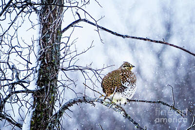 Photograph - Winter Grouse by Lori Dobbs